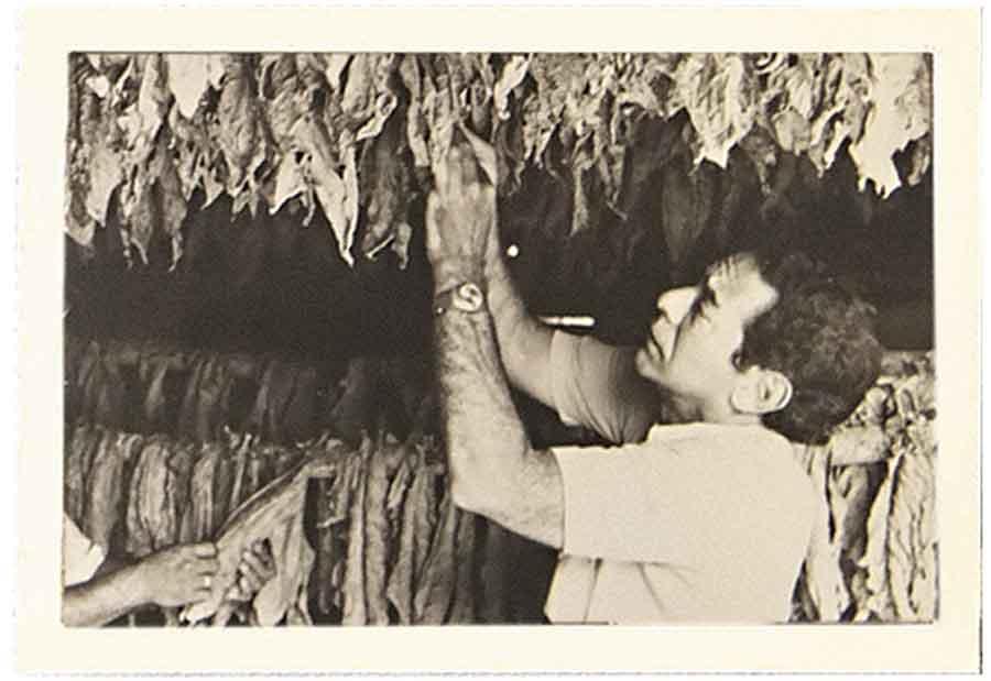 José  O. Padrón inspecting tobacco, 1973.
